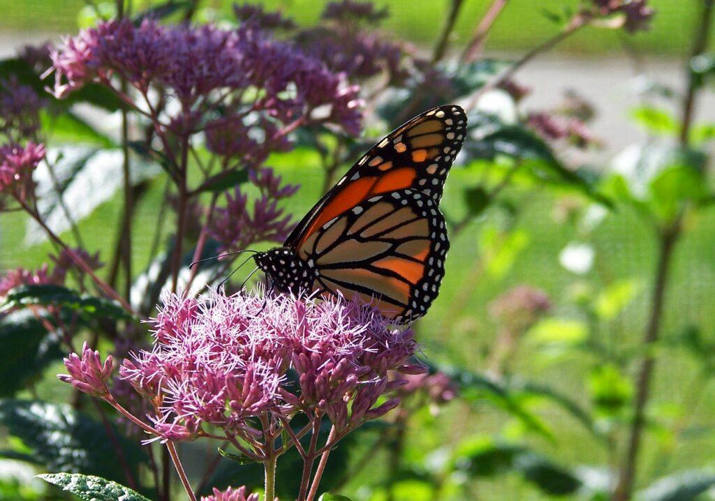 butterfly, monarch, flower
